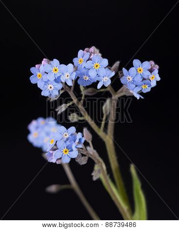 Tiny blue Forget-me-not flowers against dark background