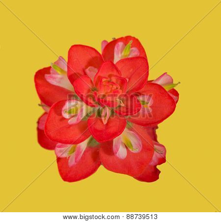 Bright red bloom of an Indian Paintbrush flower, on yellow background