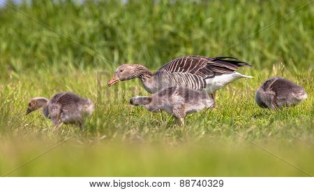 Mother With Chicks Of Greylag Goose Feeding On Grass