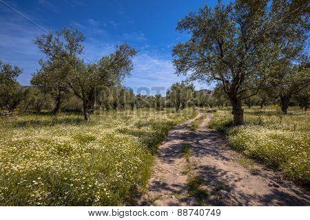 Path Through Olive Grove