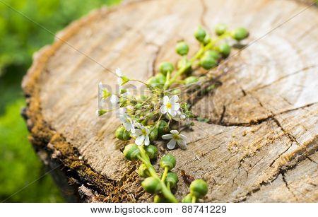 Poplar Tree Stumps And Flowers