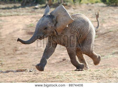 Bebê elefante Running