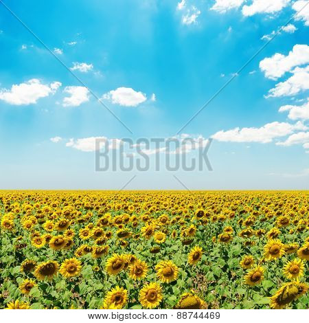 sunflower field under blue sky with clouds