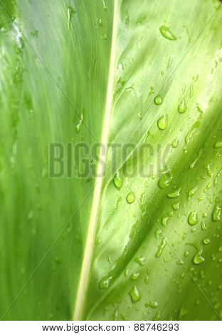 galangal leaf is refreshing rain drops after rain
