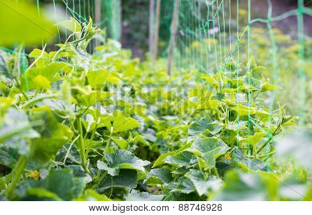 Cucumber's Creeping Vines And Green Leaves