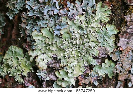 Closeup of Lichen on wood bark in Europe