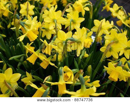 Yellow Narcissus Daffodils