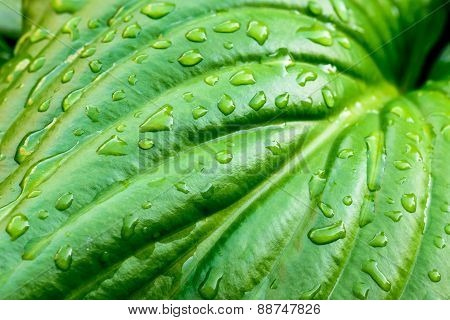 Hosta Leaf With Rain Drops