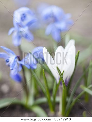 White Crocus And Blue Scilla Flowers