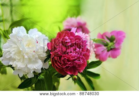 white, red, pink peonies on the window sill