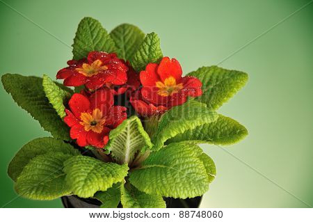 red primula with rain drops isolated on green background