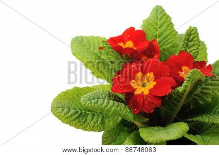 red primula with rain drops isolated on white background