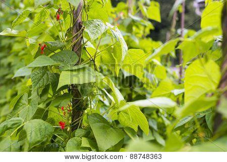 Growing The Beans (phaseolus Vulgaris)