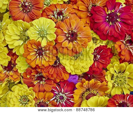 colorful zinia flowers close up