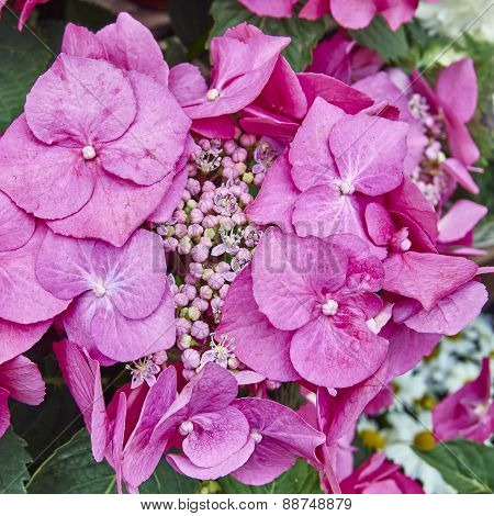 pink Hortensia flowers close up