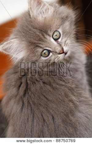 Beautiful Grey Kitten