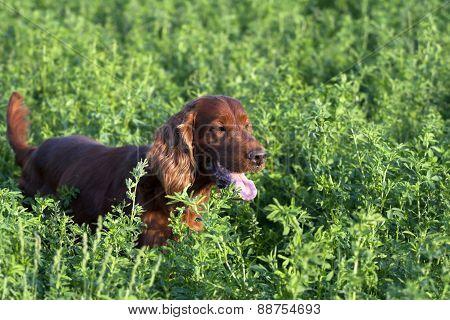 Irish Setter Hunting