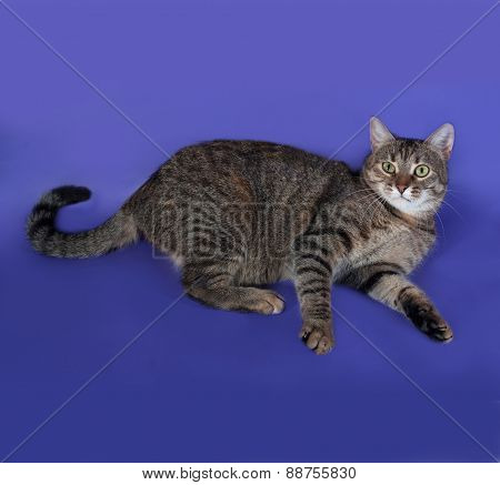 Thick Striped Cat Lying On Blue
