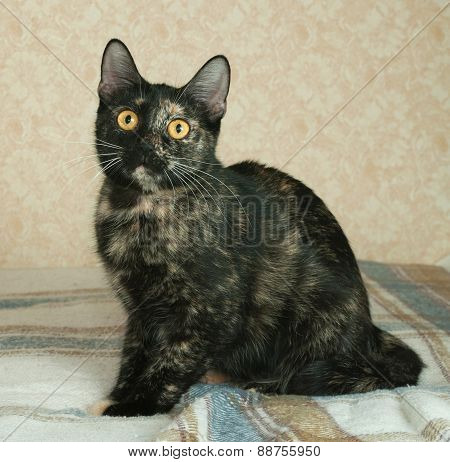 Tortoiseshell Cat Lies On Plaid Blanket