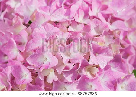 background of pretty pink hydrangea flowers
