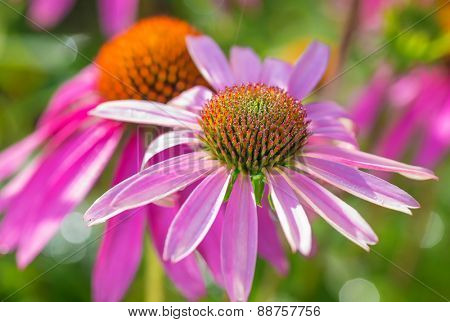 Pink echinacea flowers in the summer garden.