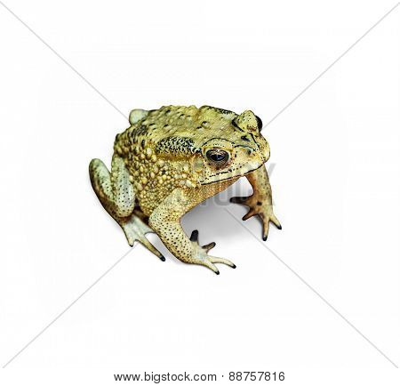 close-up photo of the Duttaphrynus melanostictus Asia toad isolated