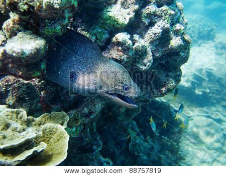 moray, hiding in the coral. Thailand