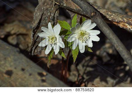 Anemone Nemorosa. The First Snowdrops.