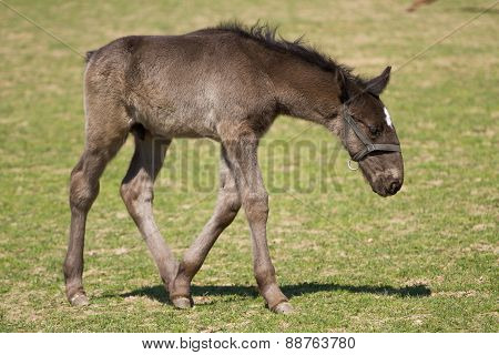 Foal Of Old Kladrub Black Horse