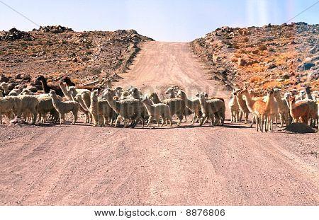 Lamas and Alpacas crossing the road