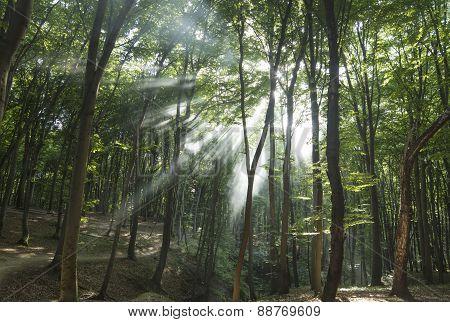 Sunbeams in woods. Sun rays