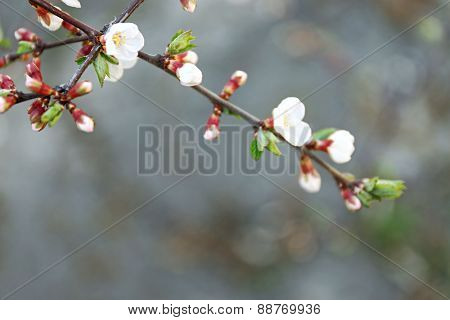 Blooming branch of tree in spring, closeup