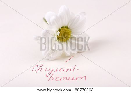 Beautiful chrysanthemum with inscription isolated on white