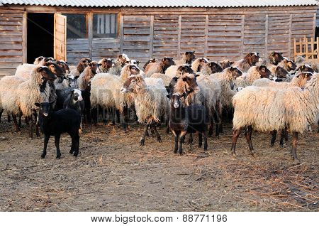 Flock Of Sheep On Farm