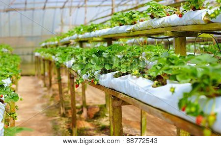 Growing Strawberries In Greenhouse