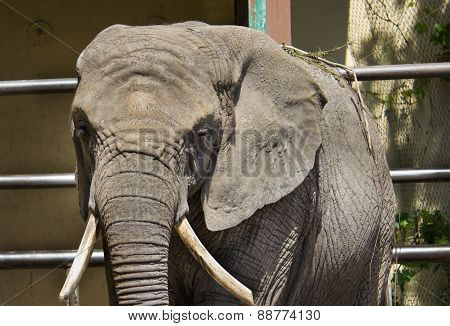 African elephant at the zoo