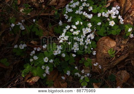 Carpet of white flowers in the forest
