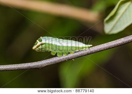 Five-bar Swordtail Caterpillar