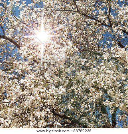 Spring. Magnolia tree in bloom on sunny day