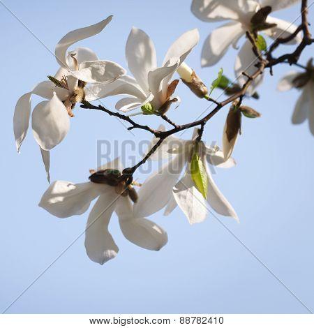 Spring. Magnolia flowers.