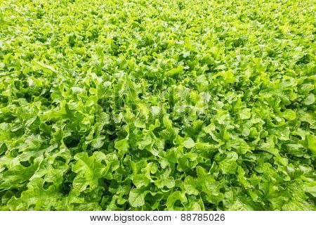 Background of freshly grown lettuce