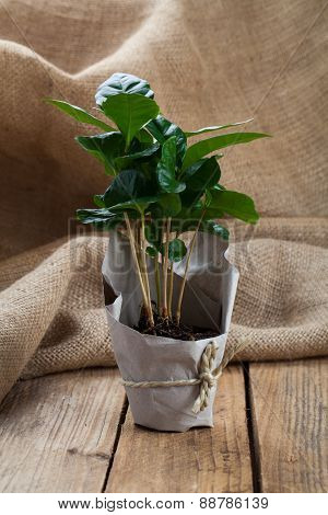 Coffee Plant Tree In Paper Packaging On Sackcloth