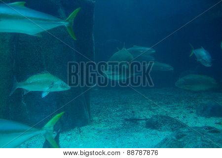 Shark swimming with fish in a tank