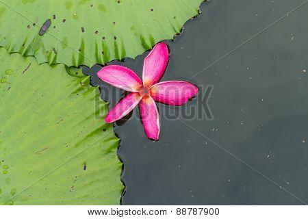 plumeria flower drop on the water