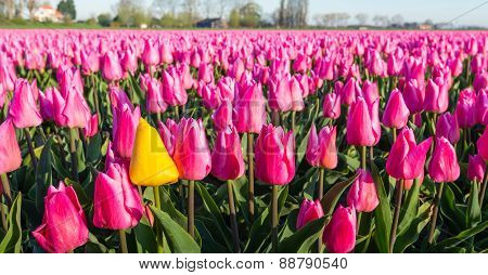 Striking Yellow Blooming Tulip Among Lots Of Deeppink Colored Tulips