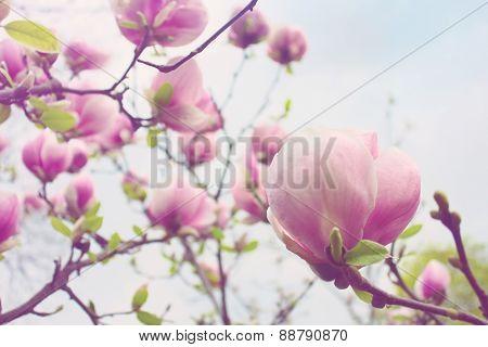 Abloom Flower Of Magnolia Tree In Spring