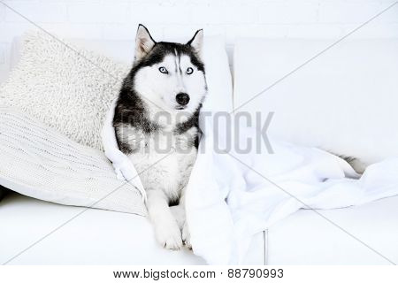 Beautiful cute husky with towel lying on sofa in white room