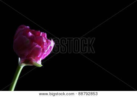 Fresh tulip on black background