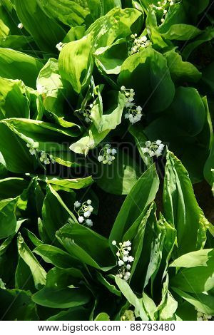 lily of the valley - 2