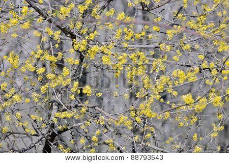 Flowering Dogwoods  Cornus Mas